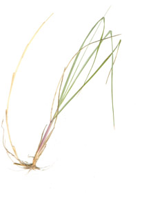 Ammophila breviligulata Fernald