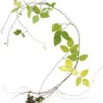 Amphicarpea bracteata - Hog-peanut