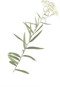 Anaphalis margaritacea (L.) Benth.&Hook.f.
