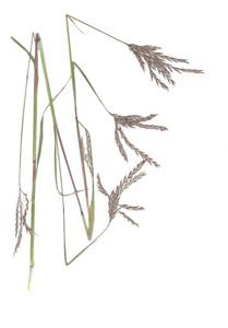 Andropogon gerardi Vitman