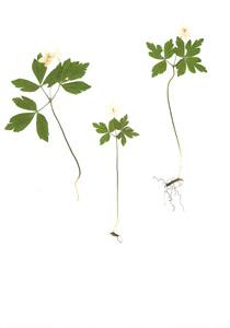 Anenome quinquefolia L.