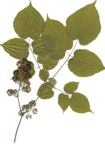 Aralia racemosa L.