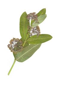 Asclepias syriaca L.