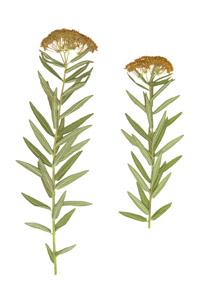 Asclepias tuberosa L.