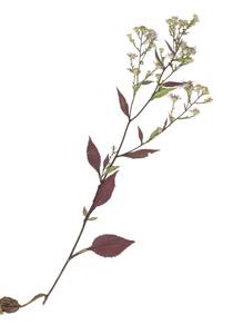 Aster ciliolatus Lindl.