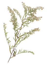 Aster lateriflorus (L.) Britton
