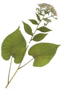 Aster macrophyllus L.
