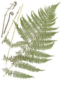 Athyrium filix-femina (L.) Roth ex Mert.