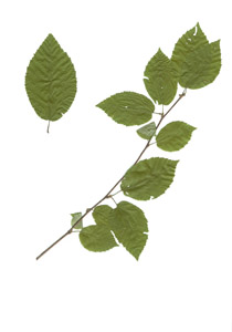 Betula alleghaniensis Britton