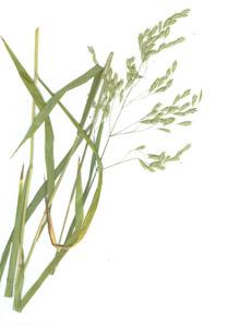 Bromus ciliatus L.