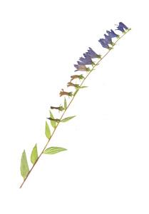Campanula rapuculoides L.