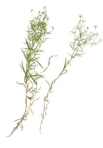 Campaula aparinoides Pursh