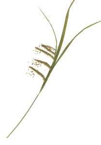 Carex crinita Lam.