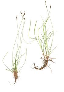 Carex pensylvanica Lam.
