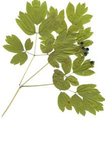 Caulophyllum thalictroides (L.) Michx.
