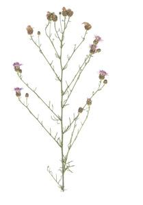 Centaurea biebersteinii DC.