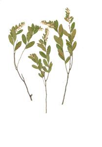 Chamaedaphne calyculata (L.)