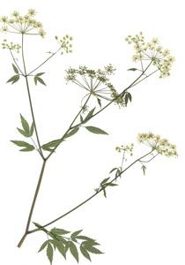 Cicuta maculata L.