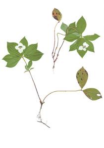 Cornus canadensis L.