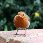 robin with a worm (early bird)