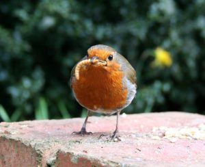 robin with a worm (early bird)