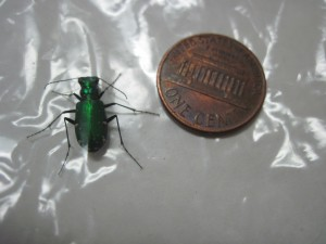 Tiger Beetle (Six Spotted)