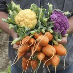 handful of colorful vegetables-yellow and purple cauliflower and carrots in a garden setting