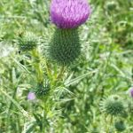 thistle in pasture