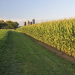 Farm field of corn in the late afternoon/early evening.