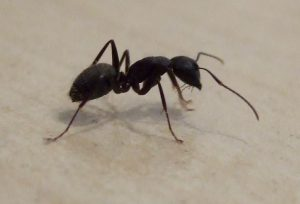 Black Carpenter Ant.