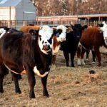 beef cows standing in a feedlot with barn buildings in background.
