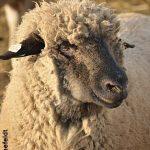 hampshire ewe