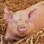 pig laying in corn stalk bedding