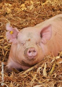 pig laying in corn stalk bedding