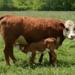 Simmental cow-calf pair on pasture. Calf is nursing on dam.