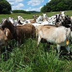 A variety of breeds of dairy goats on pasture with trees in the background and cloudy blue skies.