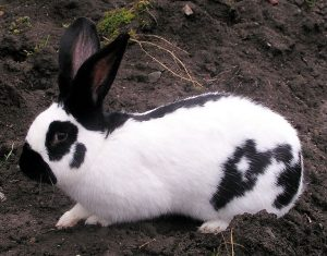 Checkered Giant rabbit on bare soil background