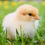 chick on grass