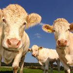 light cream colored cattle on pasture
