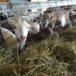 goats eating hay from feeder