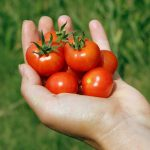 hand holding ripe red cherry tomatoes in front of a green lawn background