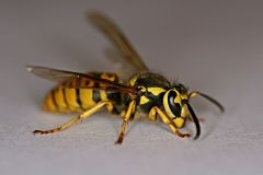 Yellowjacket hornet adult on grey background.