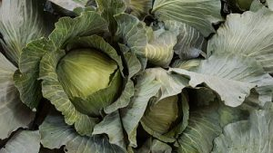 Close up of a head of cabbage that has just been picked on other freshly picked cabbages.