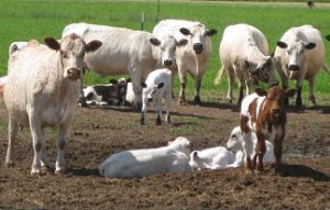 White Park beef cows and crossbred calves on pasture.