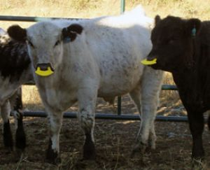 White Park beef calf with anti-nursing tag inserted in the nose.
