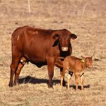 beef cow and calf on dormant pasture