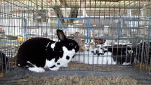 black and white rabbit resting in cage