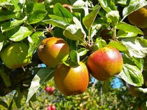 Closeup photo of apples on a tree. Photo by Liese Coulter, CSIRO, via Wikimedia Commons.