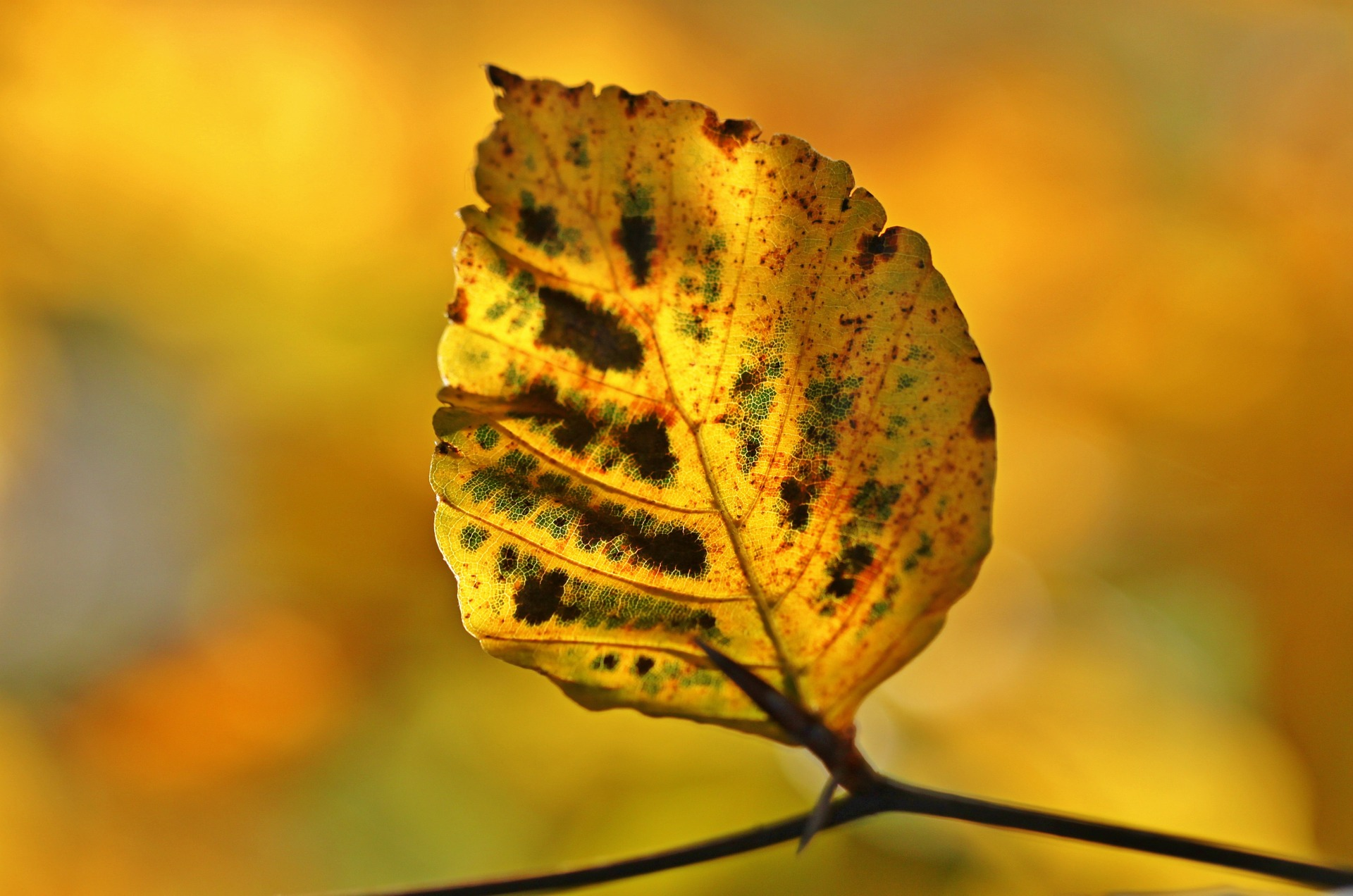 yellow leaf with black lesions