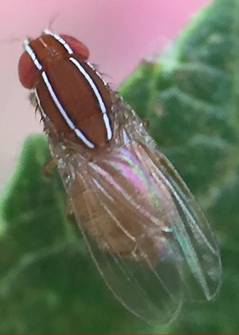 An African fig fly adult. (Photo courtesy of Benjamin Davidson)